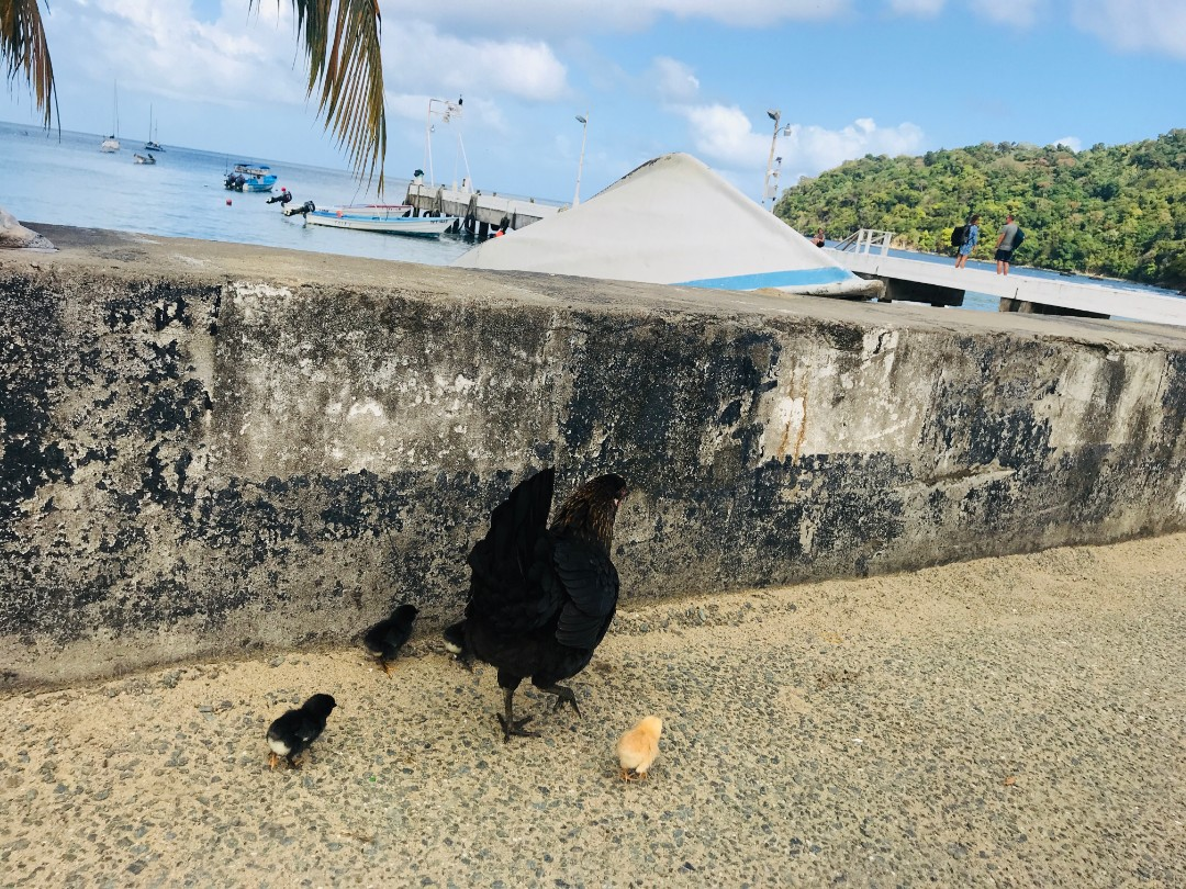 tobago_hens_chicken